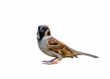 Beautiful bird isolated. Eurasian Tree Sparrow or Passer montanus, beautiful bird isolated with white background Royalty Free Stock Images