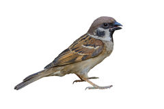 Beautiful bird isolated. Eurasian Tree Sparrow or Passer montanus, beautiful bird isolated with white background Stock Images