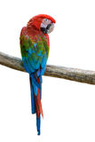 Beautiful bird isolated. Scarlet Macaw, beautiful bird isolated on branch with white background Stock Photography