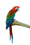Beautiful bird isolated. Scarlet Macaw, beautiful bird isolated on branch with white background Stock Image