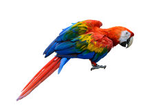 Beautiful bird isolated. Scarlet Macaw, beautiful bird isolated with white background Stock Photo