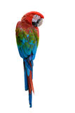 Beautiful bird isolated. Scarlet Macaw, beautiful bird isolated with white background Royalty Free Stock Photos