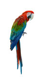 Beautiful bird isolated. Scarlet Macaw, beautiful bird isolated with white background Stock Images