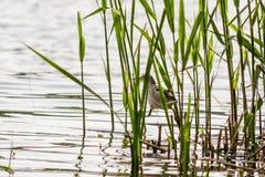Beautiful bird kulik - sparrow in reeds. Close-up stock photo