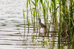 Beautiful bird kulik - sparrow in reeds. Close-up stock photos