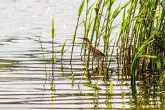 Beautiful bird kulik - sparrow in reeds. Close-up stock photography