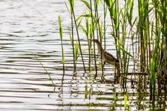 Beautiful bird kulik - sparrow in reeds. Close-up stock image