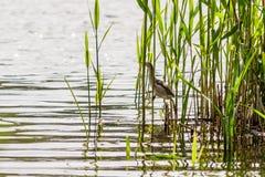 Beautiful bird kulik - sparrow in reeds. Close-up royalty free stock photography