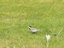 Beautiful bird on the lake Royalty Free Stock Photo