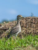 Beautiful bird in meadow. Indian Thick-knee Burhinus indicus, beautiful bird in grassland with blue sky Royalty Free Stock Image