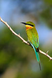 Beautiful bird in the nature tree branch habitat. Blue-tailed Bee-eater Merops philippinus perching on twig, green and blue backgr Royalty Free Stock Photos