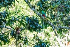 Beautiful bird in nature tropic habitat. Resplendent Quetzal Royalty Free Stock Photo