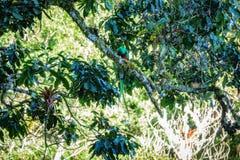 Beautiful bird in nature tropic habitat. Resplendent Quetzal Royalty Free Stock Images