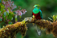 Beautiful bird in nature tropic habitat. Resplendent Quetzal, Pharomachrus mocinno, Savegre in Costa Rica, with green forest backg Royalty Free Stock Image