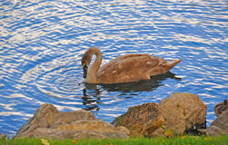 A Beautiful Bird near the shore of the Five Star B. At the Broadmoor lake in Colorado Springs with a slowly meandering bird Stock Image