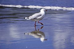 New Zealand seagull on shore stock photos
