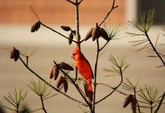 Beautiful bird Northern Cardinal  sitting on pine tree branch. Royalty Free Stock Photo