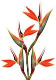 Beautiful Bird Of Paradise Bouquet Royalty Free Stock Photography