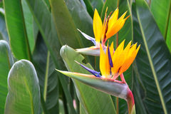Beautiful bird of paradise flower. Royalty Free Stock Image