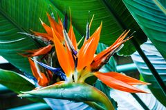 Beautiful Bird of Paradise flower Strelitzia reginae in green background stock photo