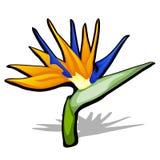 Beautiful bird of Paradise flower, Strelitzia reginae isolated on white background. Vector cartoon close-up illustration. Beautiful bird of Paradise flower Royalty Free Stock Image