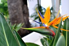 beautiful bird of paradise flower Royalty Free Stock Photography