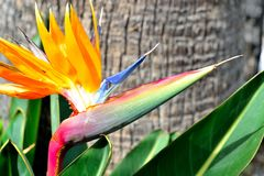 beautiful bird of paradise flower Royalty Free Stock Photos