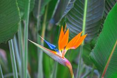 Beautiful Bird of Paradise Flower. Tropical flower Strelitzia reginae on green background stock images