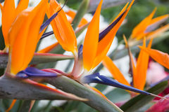 Beautiful Bird of Paradise plant in full bloom Stock Photo