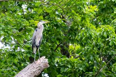 Great Blue Heron Standing Tall. This beautiful bird is perched atop a broken tree branch high in the trees Royalty Free Stock Photography