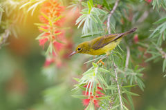 Beautiful bird perching on red brush flower in sunny day . Royalty Free Stock Image