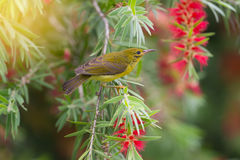 Beautiful bird perching on red brush flower in sunny day with sunlight. Stock Photography