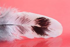 Beautiful bird plumage pattern. Fluffy colorful feather on pink background. Shallow depth of field selective focus. Beautiful bird plumage pattern. Fluffy Stock Photo