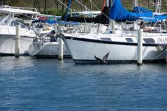 Beautiful bird in Ponce Puerto Rico. Flying fish eating bird in Puerto Rico, Ponce. Sailing boats in the back Stock Photo