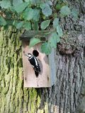 Colorful woodpecker near nesting-box, Lithuania Stock Images