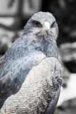 Beautiful bird of prey Stock Photography