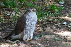 Beautiful bird of prey hiding from the heat in the shade stock photo