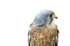 Beautiful bird of prey Royalty Free Stock Photos