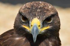 Beautiful bird of prey watching Stock Photos