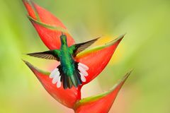 Beautiful bird with red bloom. Heliconia flower with hummingbird. Tobago Island. Hummingbird White-tailed Sabrewing flying next to stock photo