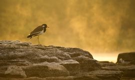 Beautiful bird Red wattled lapwing sitting on rock in golden light royalty free stock photos