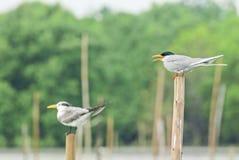 Beautiful Bird (Roseate Tern) perching on nature Royalty Free Stock Image