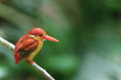 Beautiful bird (Rufous-backed Kingfisher) perching on branch Stock Photo