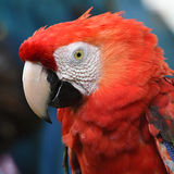 Beautiful bird scarlet macaw Royalty Free Stock Images