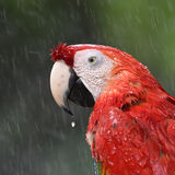 Beautiful bird scarlet macaw Stock Photography