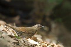 Beautiful bird (Siberian Thrush) find some food on ground. Field Royalty Free Stock Image