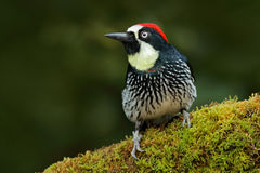 Beautiful bird sitting on the green mosse branch in habitat. bird in nature, Costa Rica. Birdwatching in America. Woodpecker from Royalty Free Stock Photography