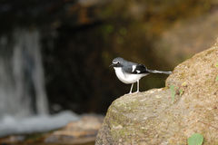 Beautiful Bird (Slaty-backed Forktail) perching on the stone Stock Photo