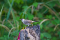 Beautiful bird Sooty headed Bulbul. Perched on wooden Pycnonotus aurigaster Stock Photography