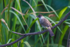 Beautiful bird Sooty headed Bulbul Stock Image